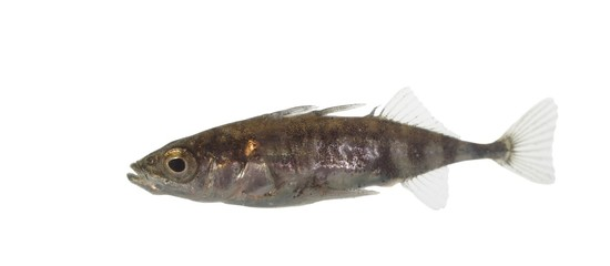 stickleback on white background