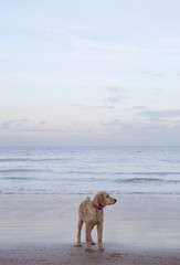 Mixed breed Golden Retriever-Poodle cross on beach in Herne Bay, Kent