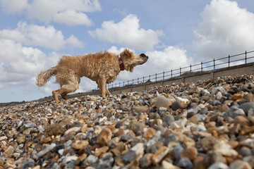 Mixed-breed Golden Retriever-Poodle cross shaking wet fur on pebble beach, Herne Bay, Kent