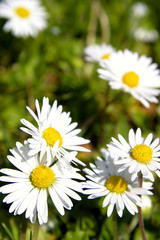 Macro closeup of pretty daisies