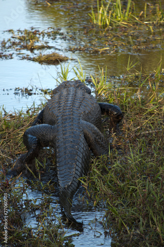 Back and tail of american alligator on a swamp