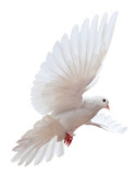 Fototapety A free flying white dove isolated