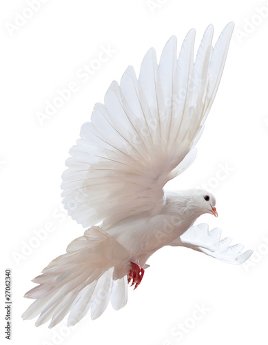 Poster A free flying white dove isolated