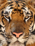 close up of penetrating eyes of Bengal tiger, Thailand, Asia poster