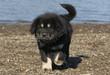 puppy do khyi walking on the beach