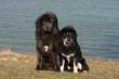 couple de dogue du Tibet assis devant l'étang