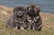 deux bébés dogue du Tibet