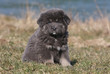 chiot dogue du Tibet assis