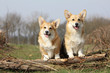 couple de welsh corgies pembroke