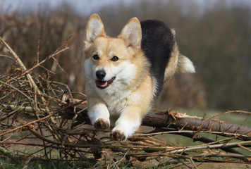 welsh corgi jumping