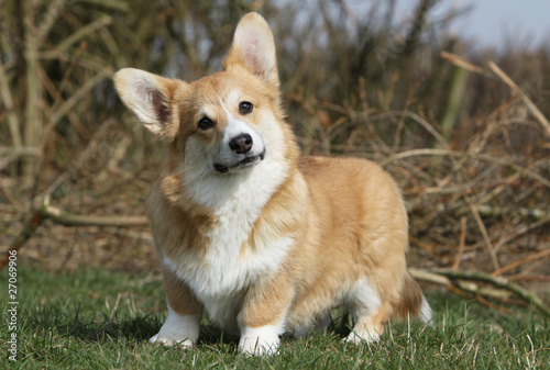 air farceur du welsh corgi