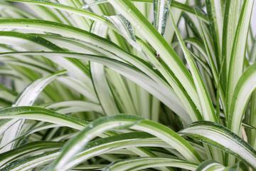plante dépolluante, chlorophytum comosum, phalangère