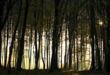 Fototapeta jesień - wschód - Las