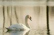 Beautiful swan on a lake in the light of the rising sun