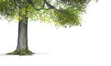 Fototapety Der Baum - freigestellt 01