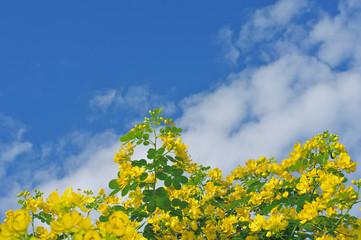 センナの花と青空