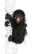 Red-faced Spider Monkey, Ateles paniscus, 3 months old, hanging