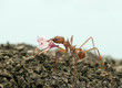 Leaf-cutter ant, Acromyrmex octospinosus, carrying flower petal