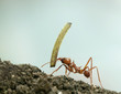 Leaf-cutter ant, Acromyrmex octospinosus, carrying plant