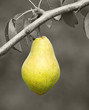 Reife leckere Birne am Birnbaum - Delicious Pear