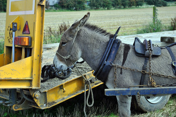 working farm animal