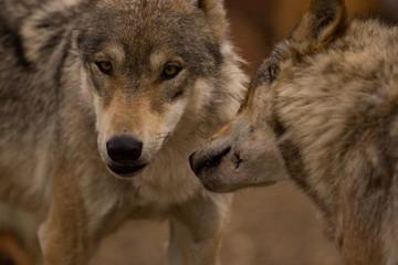 A pair of European Wolves