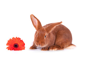 The red rabbit on a white background