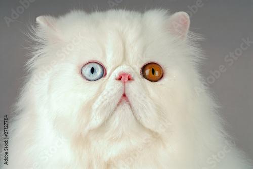 chat race persan robe blanc yeux vairons photo libre de droits sur la banque d. Black Bedroom Furniture Sets. Home Design Ideas