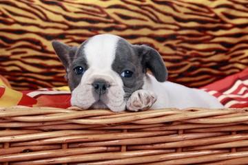 French Bulldog Welpe im Korb