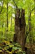 Tronc d'arbre mort