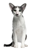 Oriental bicolor cat, 1 year old, sitting poster