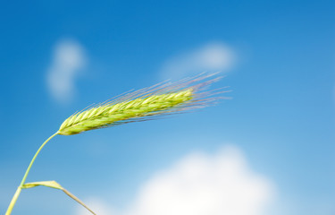 barley and sunny sky