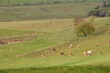 Weide mit Kühen im Thüringer Wald