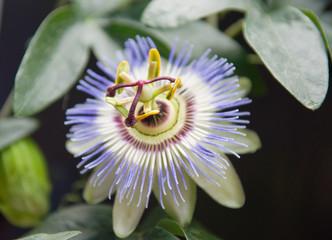 Цветение Пассифлоры (Passiflora L.) Страстоцвет.