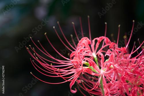 higanbana (Lycoris radiata)