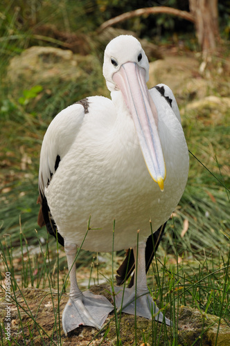 Australian pelican is posing for the camera