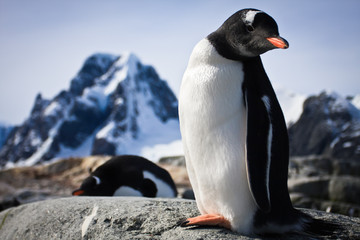.penguin standing on the rocks