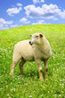 Cute young sheep