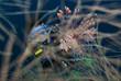 Taucher und Rotfeuerfisch,Pterois volitans,