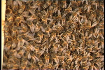 Bee, a close up