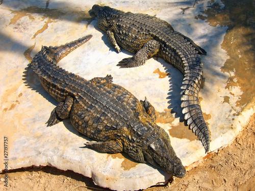 Fototapeten Krokodile The crocodiles on the farm on Djerba Island, Tunisia