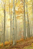 Fototapety Beech trees in autumn forest on the slope on a misty day