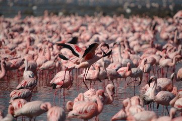 Lesser Flamingo at lake Nakuru, Kenya