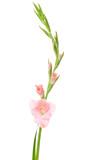 Fototapety Pink gladiolus isolated on white