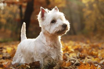 West Highland White Terrier - autumn scene