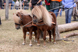 Shetland-Ponies als Rückepferde poster