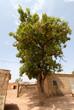 karitè pianta