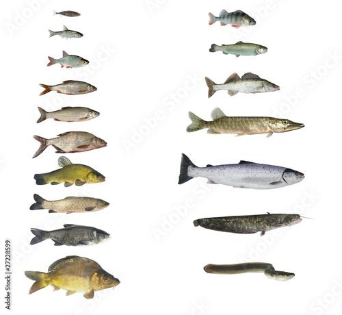Fototapeta fish of rivers and lakes