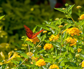 Red Monarch on Yellow Lantana Wings Spread