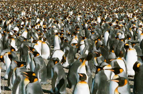 Foto op Canvas Pinguin Ganz viele Königspinguine